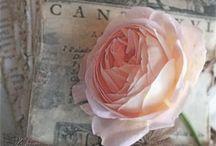 ♡ Rose ♡