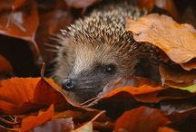Inspired by the Hedgehogs / wild hedgehogs, erinaceus europaeus, siili, luonnonvarainen siili,