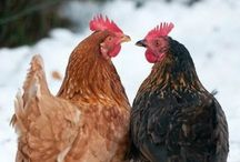 Hen´s House / Hens, Roosters, Chickens, Coops