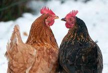 Hen´s House / Hens, Roosters, Chickens, Coops, kanat, kanala, kukot, kananpoikaset, kananhoito-ohjeet