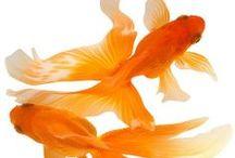 | goldfish |