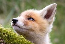FOX AND RED PANDA / by Kaylynn Jondreau