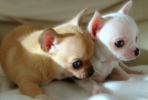 Chihuahuas / by Lite Glow
