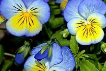 flower - pansies (hercai menekşeler)