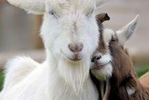 Animals - Mountain goat / .