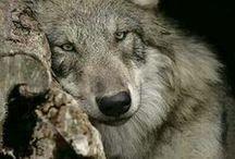 Vlk - Wolf / o príbuzných nášho psa, veselé obrázky zvierat
