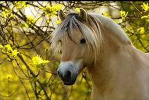 Norweigan fjord horses