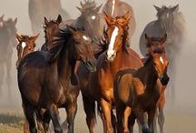 Horse herds