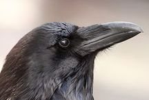 Raven and crows