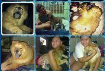 ❤ My Furbabies! / Just a proud dog momma showing off my babies :) Names: Chow chow - Riyo, Chow Shepherd - Mavi, Doberman - O'Neil (+)