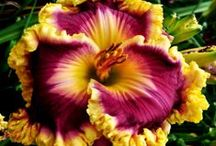 Daylilies / I LOVE Daylilies.....they are my babies! / by Cheryl Miller Hoffer