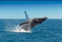Whale Watching / We Queenslanders love our whales and are constantly on the look out for new bits of information to learn and new vantage points to sight them from. Make sure you join us on our next whale watching adventure. / by Queensland