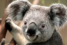 Koalas / One of Australia's most iconic animals, the Koala can be found throughout Queensland at Nature Reserves and in the wild.