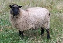 Shetland and Romney marsh sheep and other / sheep