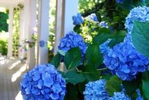 Hot for Hydrangeas / Hydrangea can make any yard come to life.  From blue to pink, you can customize your yard with a variety of colors.  Be inspired by these photos and gardening tips and make your yard Hydrangea heaven.