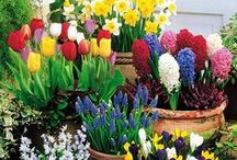Bulb Bonanza / We wait for them every spring...tulips, daffodils, crocuses...a sure sign that spring is here.  Get more out of your bulbs with these great tips.
