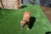 Dogs love artificial grass / Artificial grass is a great product if you own dogs. Our artificial grass is not only safe (free from toxins). It is hard wearing, free from mud and soft. Something all pooches will love