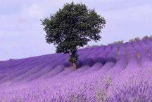 Everything Lavender