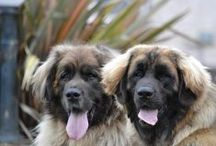 Hillhavenleonbergers  / We are a small leonberger show kennels from ireland , this is a great breed. we have three leonbergers, ossie 6 years ,Delboy 2 years  sully 11 months old & bubba 3 months