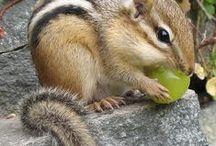 Chippies & Squirrels / I adore my Chipmunks..