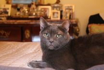 Cats / My little Russian Blue Son Pushkin (2004-2014) RIP, your cats, celebrity cats, Andy Warhol's cats + some big wild ones. Now introducing my baby boy Santos October 28, 2014. / by Joseph Phillips
