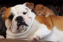 english bulldogs & cats!