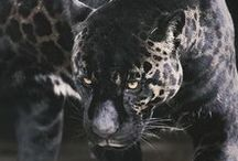 Big Cats...Beautiful / Please let us stop the insanity & cruelty of killing these Gorgeous animals as some are becoming closer to extinction...We need more Peace & Compassion.