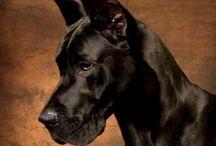 perros / Hermosos Gran Danés