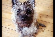 Cute Cairns / A collection of Cairn Terriers...what's not to love?!