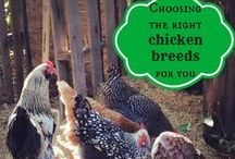 Clucks and Quacks / Useful Information on Chickens and Ducks