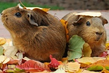 ~j'AdoRe gUinEa piGs~ / Since my very first guinea pig at age seven, I've ardently loved these gentle and beautiful little critters. It was love at first sight. / by ~viSuAL iMprESsiOniSt~