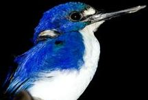 Birds of the Daintree Rainforest / The Daintree Rainforest boasts over 430 species of birds which include 13 species not found anywhere else in the world.
