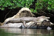 Crocodiles of the Daintree Rainforest / The Daintree region and surrounds is home to elusive saltwater crocodile. Although this estuarine crocodile is not confined to this area, it is by far the best known reptile of tropical north Queensland. www.tropicaltours.com.au