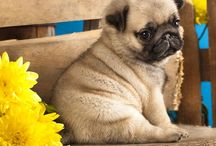 Pugs / Pugs are cute and adorable so if your an animal lover follow this board