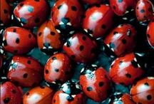 ~L A D Y B U G S~ / ~ And we all had fun at the ladybug picnic ~ / by Jeff Angie Gautier Sybrant