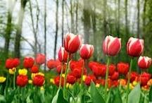 FLORA • Tulip