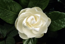 FLORA • Gardenia