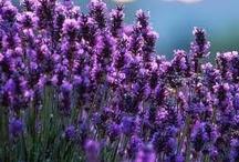 FLORA • Lavender