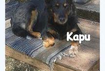 Lemmikit / Enimmäkseen Kapun kuvia, myös edemenneitten koiriemme kuvia etenkin  Essi saksanpaimenkoiran <3
