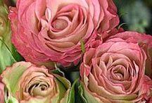 balade rose