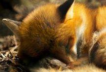 Foxy ^.^