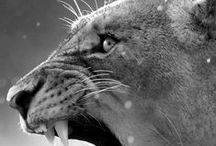 the cougar / The cougar,puma,fellis concolor,mountain lion - drop dead gorgeous cat endangered by habitat and the kaitiaki of this program like a B O S S bahahaha  link across to thecougarshow at the following addys; https://www.youtube.com/user/thecougarshow https://www.facebook.com/thecougarshow http://thecougarshow.blogspot.co.nz/ https://twitter.com/thecougarshow https://thecougarshow.wordpress.com/about/ Thanks for joining us 4/02/16