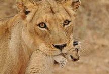 Tijgers, leeuwen en puma's