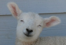 Animals - Sheepish / I adore sheep. Have had a small flock in the past and would love some again in the future. Follow along if you love sheep too!