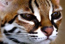 Leopard cat / Cat