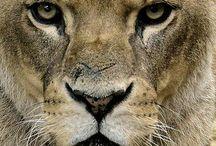 lion / Cat