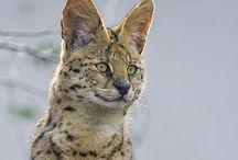 Serval / Cat