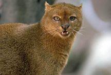 Otter cat/jaguarundi / Cat
