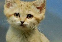 Sand cat / Cat