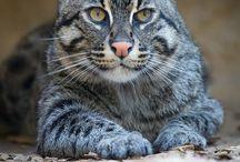 Fishing cat / Cat